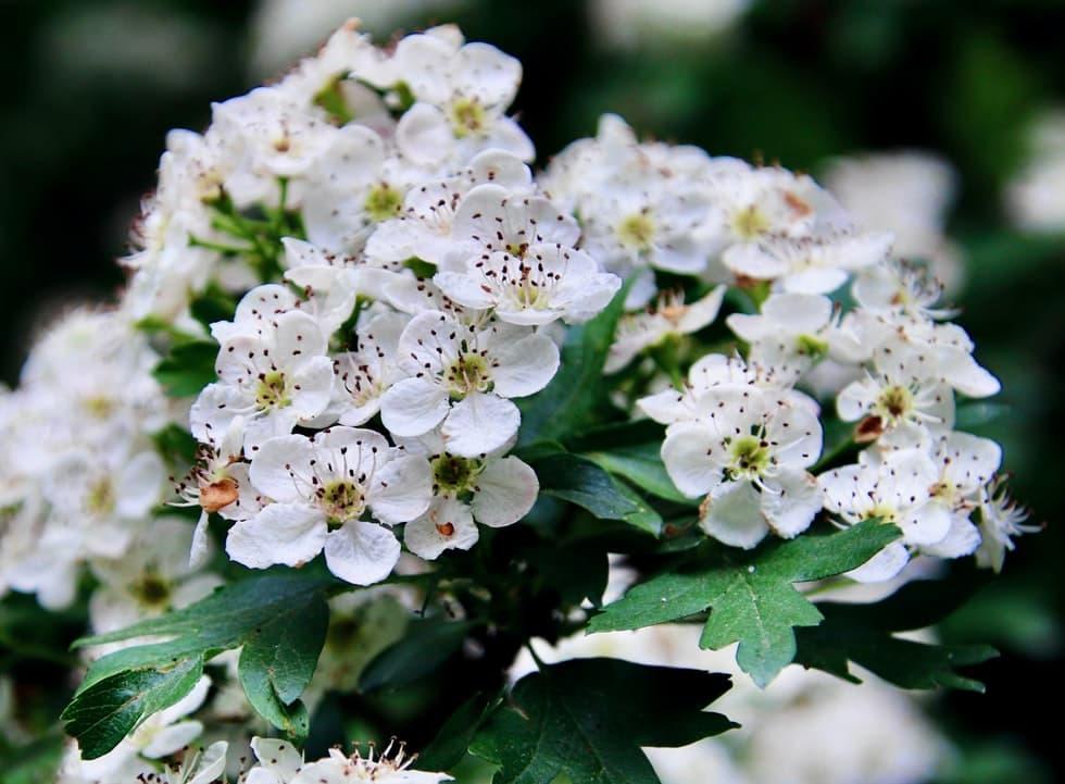 Las flores de espino blanco se usan para tratar las palpitaciones causadas por el estrés o el insomnio